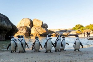 Penguins-of-Boulders-Beach-Andrew-Beck-Wild-Eye-5