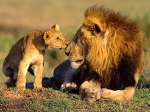 wild-lions