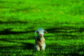 Farm accommodations - cute lamb