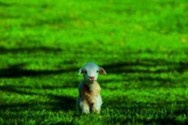 Farm accommodations - cute lamb